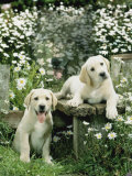 Two Young Labradors in a Daisy Field, UK Reproduction photographique par Jane Burton