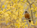American Robin, Male in Aspen Tree, Grand Teton National Park, Wyoming, USA Stampa fotografica di Rolf Nussbaumer