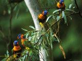 Red Collared Rainbow Lorikeets Flock in Tree, Western Australia Photographic Print by Tony Heald