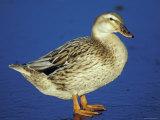 Mallard Duck Stanging on Ice, UK Fotografie-Druck von Colin Varndell