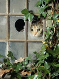 Tabby Tortoiseshell in an Ivy-Grown Window of a Deserted Victorian House Photographic Print by Jane Burton