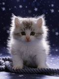 Domestic Cat, 7-Week Fluffy Silver and White Kitten Reproduction photographique par Jane Burton