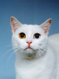 Domestic Cat, Odd-Eyed Photographic Print by  Reinhard