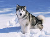 Alaskan Malamute Dog, in Snow, USA Photographic Print by Lynn M. Stone