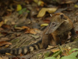 Southern Coati, Amazonia, Ecuador Lámina fotográfica por Pete Oxford