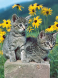 Domestic Cat, Two Kittens (Felis Catus) Photographic Print by  Reinhard