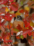 American Robin, Male in Black Hawthorn, Grand Teton National Park, Wyoming, USA Reproduction photographique par Rolf Nussbaumer