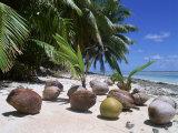 Coconut Palm Seedlings (Cocos Nucifera) on Tropical Beach, Seychelles Fotografisk tryk af  Reinhard