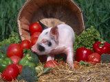 Domestic Piglet, Amongst Vegetables, USA Fotografisk tryk af Lynn M. Stone