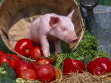 Domestic Piglet, in Bucket with Apples, Mixed Breed, USA Lámina fotográfica por Lynn M. Stone