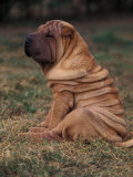 Shar Pei Puppy Sitting Down with Wrinkles on Back Clearly Visible Reproduction photographique par Adriano Bacchella
