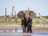 African Elephant, Warning Posture Display at Waterhole with Giraffe, Etosha National Park, Namibia Photographic Print by Tony Heald