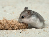 Young Dwarf Hamster Eating Millet Reproduction photographique par Petra Wegner