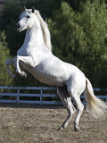 Grey Andalusian Stallion Rearing on Hind Legs, Ojai, California, USA Reproduction photographique par Carol Walker