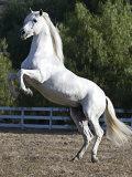 Grey Andalusian Stallion Rearing on Hind Legs, Ojai, California, USA Stampa fotografica di Carol Walker