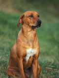 Rhodesian Ridgeback Sitting Down Reproduction photographique par Adriano Bacchella