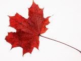 Norway Maple Leaf in Autumn Colours Reproduction photographique par Petra Wegner