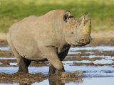 Black Rhinoceros, Walking in Water, Etosha National Park, Namibia Photographic Print by Tony Heald