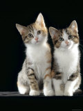 Domestic Cat, Two 8-Week Tabby Tortoiseshell and White Kittens Photographic Print by Jane Burton