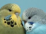 Budgerigar Pair Courting Impressão fotográfica por Petra Wegner