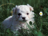 Maltese Puppy Sitting in Grass Near a Daisy Reproduction photographique par Adriano Bacchella