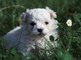 Maltese Puppy Sitting in Grass Near a Daisy Lámina fotográfica por Adriano Bacchella