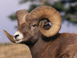 Rocky Mountain Bighorn Sheep, Ram, Jasper National Park, Alberta, USA Stampa fotografica di Lynn M. Stone