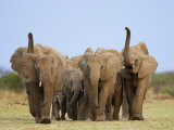 African Elephants, Using Trunks to Scent for Danger, Etosha National Park, Namibia Photographic Print by Tony Heald