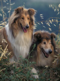 Two Shetland Sheepdogs Panting Reproduction photographique par Adriano Bacchella