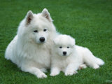 Samoyed with 6 Weeks Old Puppy Reproduction photographique par Petra Wegner