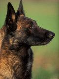 Belgian Malinois / Shepherd Dog Profile Portrait Reproduction photographique par Adriano Bacchella