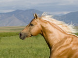 Palomino Quarter Horse Stallion, Head Profile, Longmont, Colorado, USA Reproduction photographique par Carol Walker