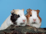 Two Young Guinea Pigs Reproduction photographique par Petra Wegner