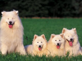 Domestic Dogs, Samoyed Family Panting and Resting on Grass Reproduction photographique par Adriano Bacchella