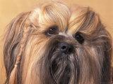 Lhasa Apso Face Portrait with Hair Plaited Reproduction photographique par Adriano Bacchella