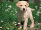 Young Labrador Retriever Portrait Reproduction photographique par Adriano Bacchella