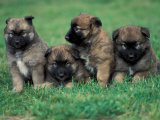 Domestic Dogs, Belgian Malinois / Shepherd Dog Puppies Sitting / Lying Together Reproduction photographique par Adriano Bacchella