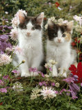 Domestic Cat, 9-Week, Black-And-White Kittens Among Flowers Reproduction photographique par Jane Burton