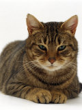 Domestic Cat, Striped Tabby Male Photographic Print by Jane Burton