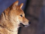 Shiba Inu Profile Reproduction photographique par Adriano Bacchella