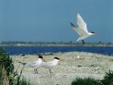 Caspian Terns, Breeding Colony on Island in Baltic Sea, Sweden Reproduction photographique par Bengt Lundberg