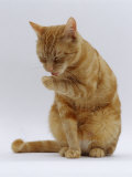 Domestic Cat, Ginger Tabby Female Sitting Licking Front Paw Reproduction photographique par Jane Burton