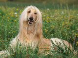 Afghan Hound Lying in Grass Reproduction photographique par Adriano Bacchella