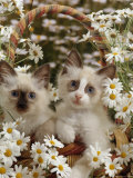 Domestic Cat, Birman Kittens in Wicker-Basket Among Dasies Reproduction photographique par Jane Burton