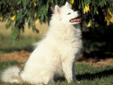 Japanese Spitz Sitting and Looking Up Reproduction photographique par Adriano Bacchella