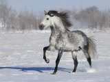 Grey Andalusian Stallion Trotting in Snow, Longmont, Colorado, USA Reproduction photographique par Carol Walker
