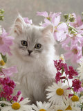 Domestic Cat, Pale Silver Long-Haired Kitten Among Mallows and Ox-Eye Dasies Reproduction photographique par Jane Burton