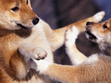 Domestic Dogs, Two Young Shiba Inus Playfighting Reproduction photographique par Adriano Bacchella