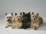 Cairn-Terrier Impressão fotográfica premium por Petra Wegner