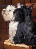 Domestic Dogs, West Highland Terrier / Westie Sitting on a Chair with a Black Scottish Terrier Reproduction photographique par Adriano Bacchella